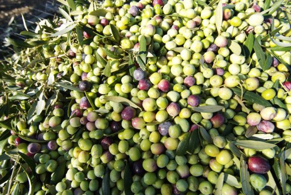 Olivenfrüchte entfernen