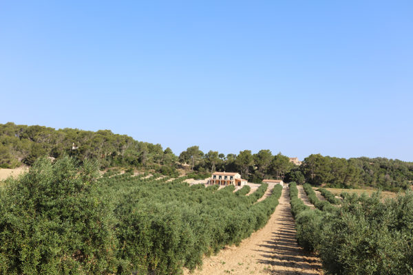 Extra virgin olive oil from Mallorca