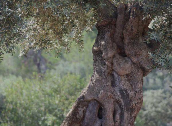 Umwelt Olivenbäume