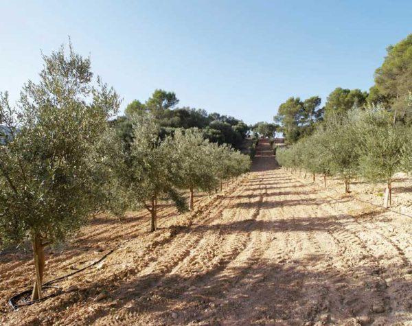 Besuchen Sie die Olivenbaumfarm Mallorca