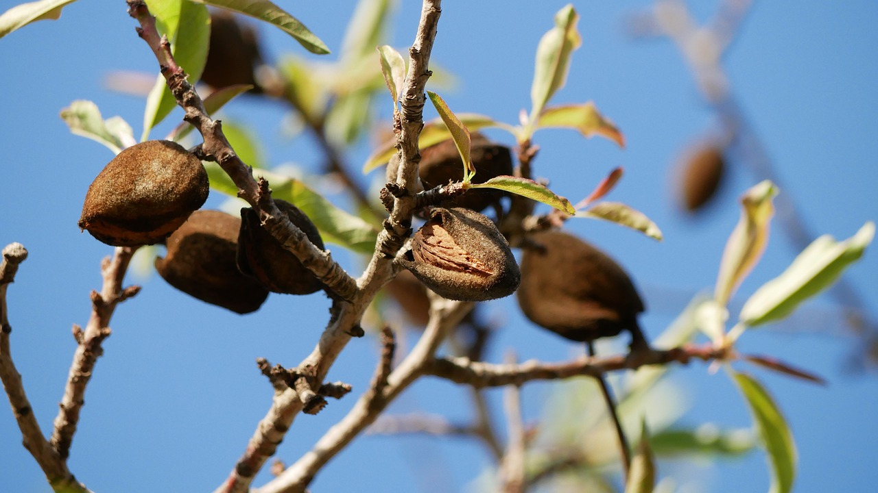 almond, another gourmet product from Mallorca
